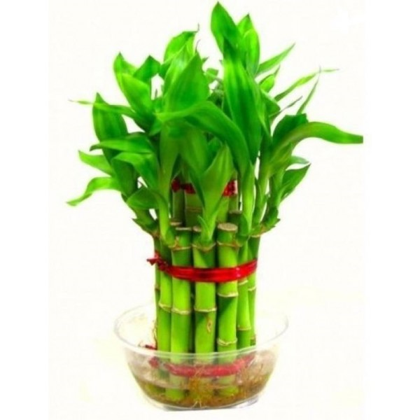 Lucky bamboo Plant 2 Layer with Bowl