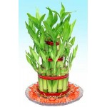 Lucky bamboo Plant 3 Layer with Bowl